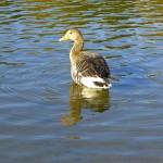 Ente in Ostparksee München