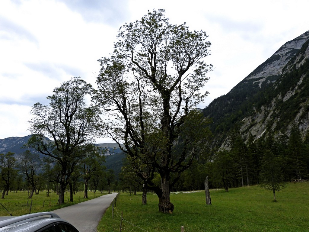 Ahornbaum in Rißtal