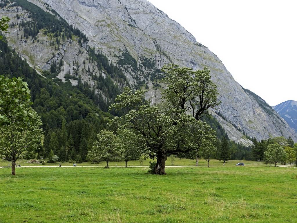 Ahornbaum in großen Ahornboden