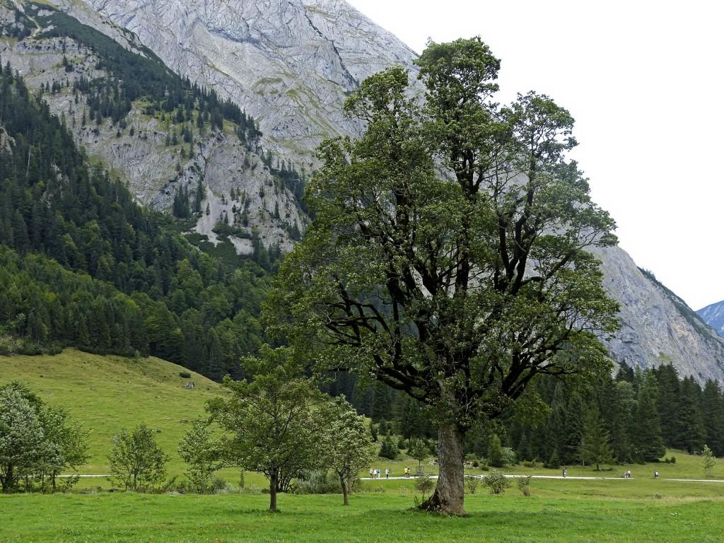 Großer Ahornbaum in großen Ahornboden