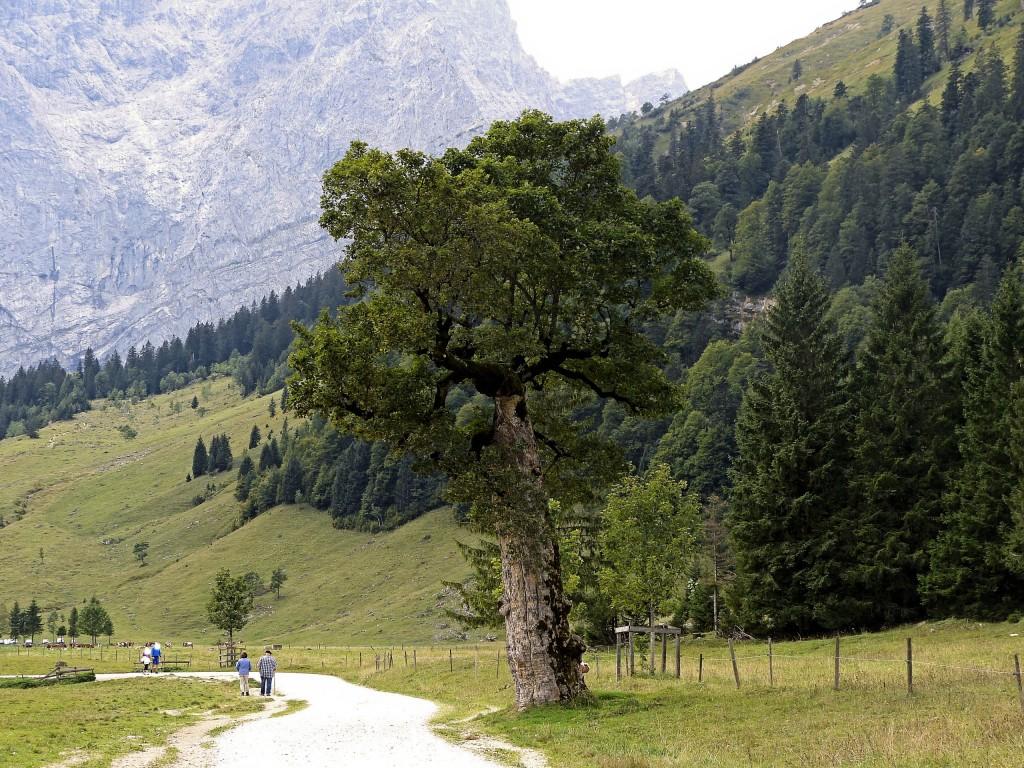 Alter Ahornbaum in großen Ahornboden