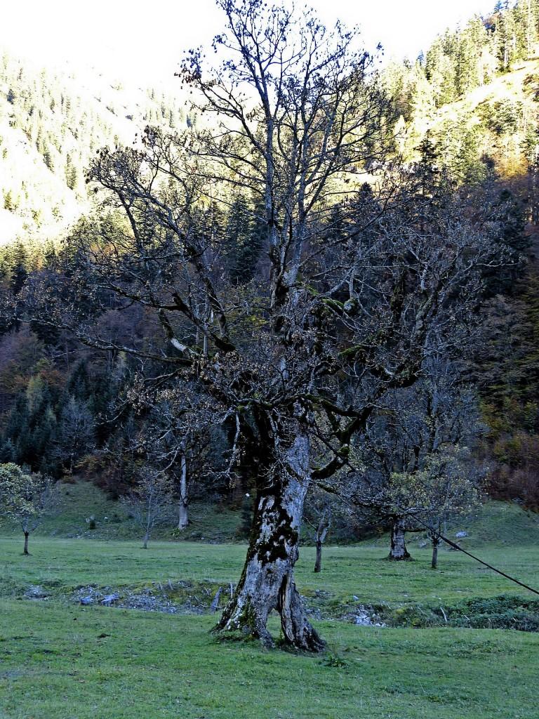 Alter Ahornbaum bei Engalm