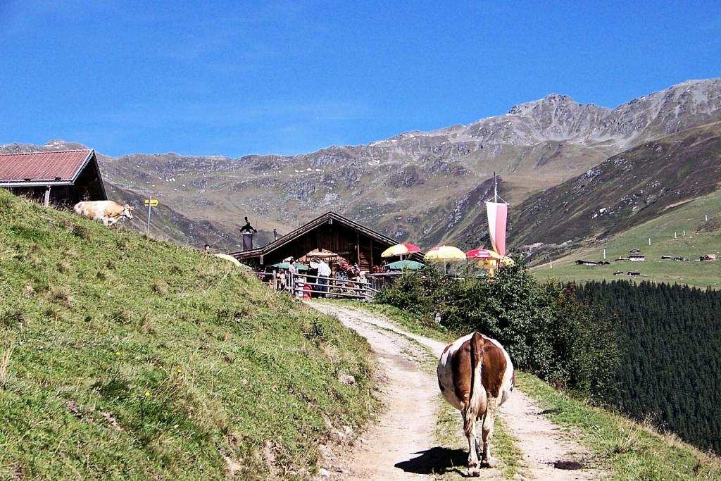 Die Kuh unterwegs zur Lattenalm