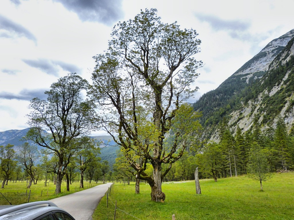 Ahornbäume in Risstal