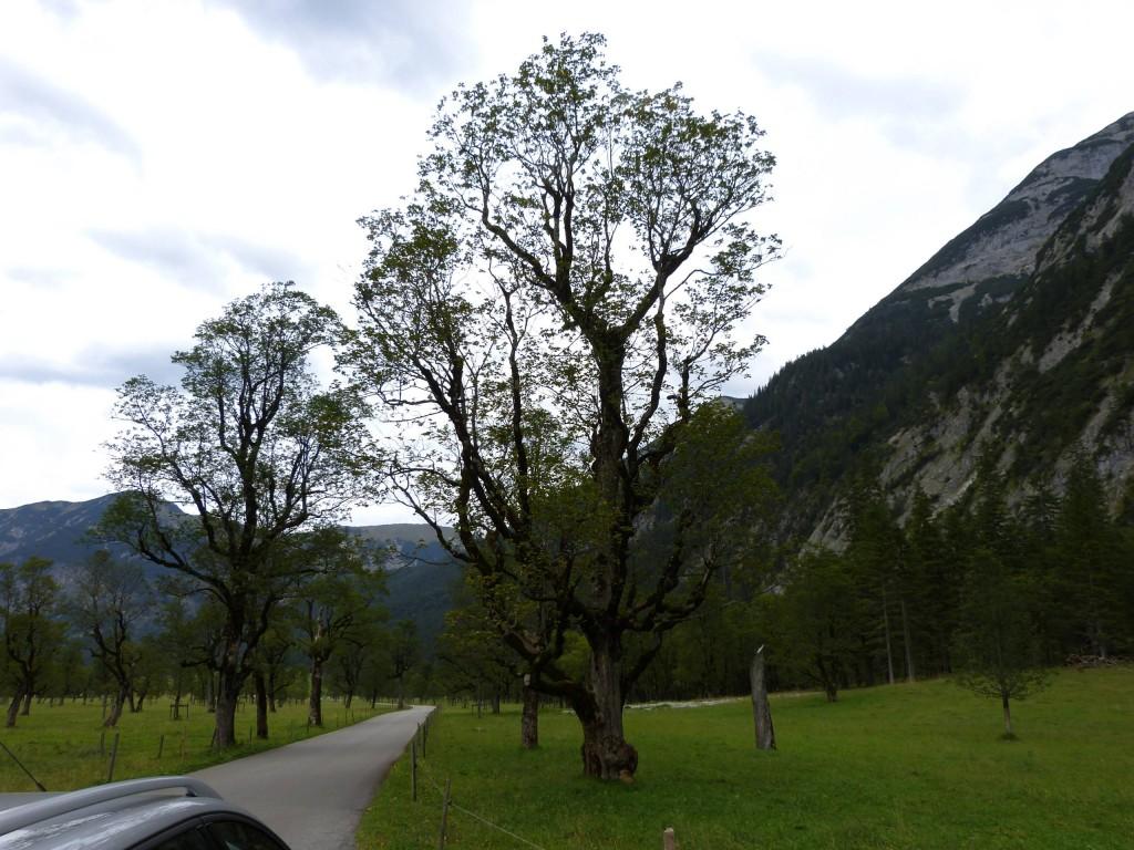 Ahornbäume in Risstal Orginalfoto