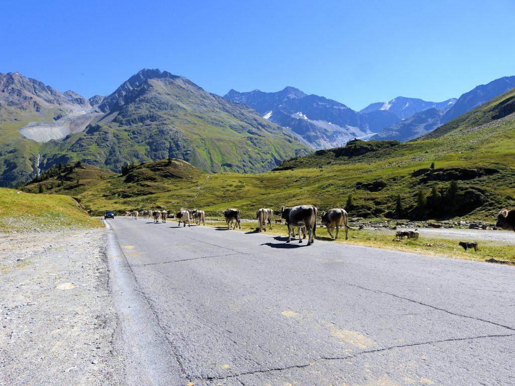 Viehherde auf der Kaunertaler Hochalpenstraße